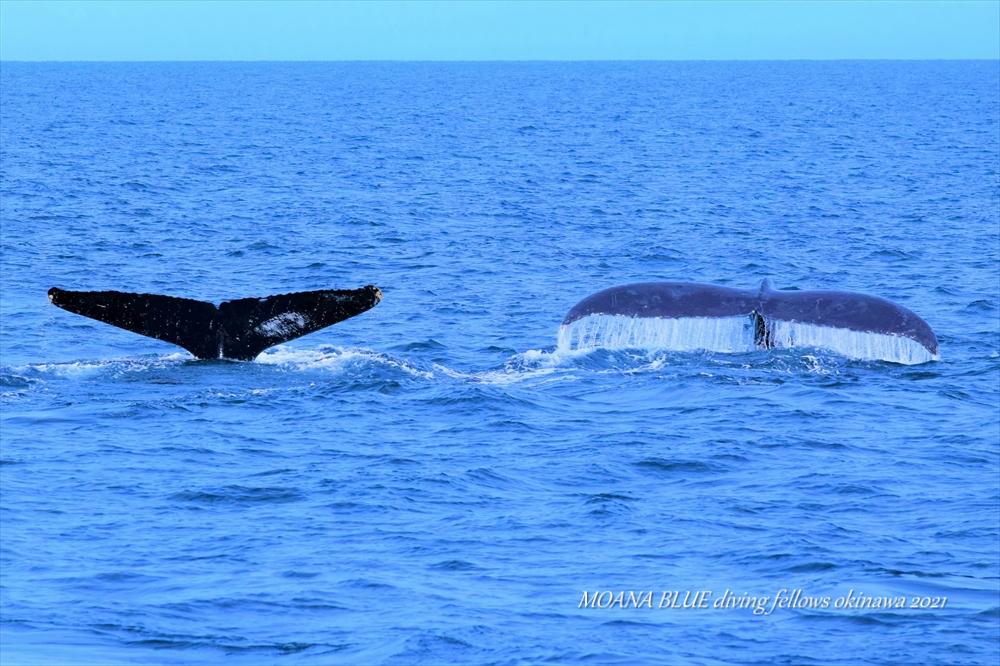 ザトウクジラ|恩納村ホエールウォッチング